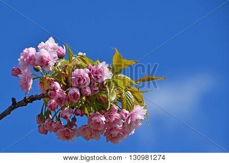 Pink Cherry Blossom Over Blue Sky