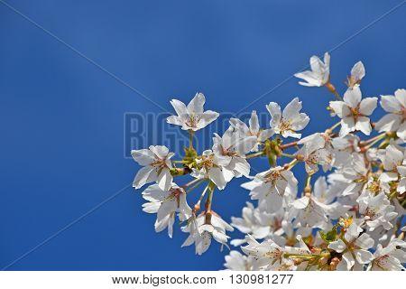 White Cherry Blossom Over Clear Blue Sky Close Up