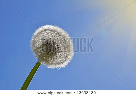 White Dandelion Over Clear Blue Sky And Sunshine