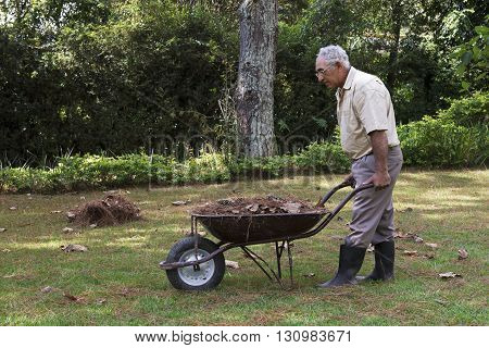 Senior man picking-up dry leaves from the lawn with a wheelbarrow.