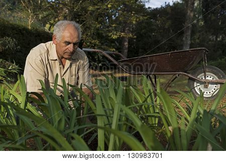 Older man working in the garden with a wheelbarrow in his free time.
