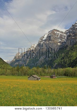 Yellow meadow full of wildflowers. High mountains. Rural spring scene in the Swiss Alps. Kloental valley.