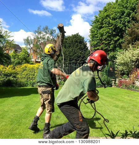 LONDON - MAY 23: Tree Surgeons control the felling of a tree in a residential garden on May 23, 2016 in Hampstead, London, UK.