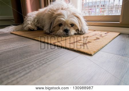 Dog is waiting on carpet at home