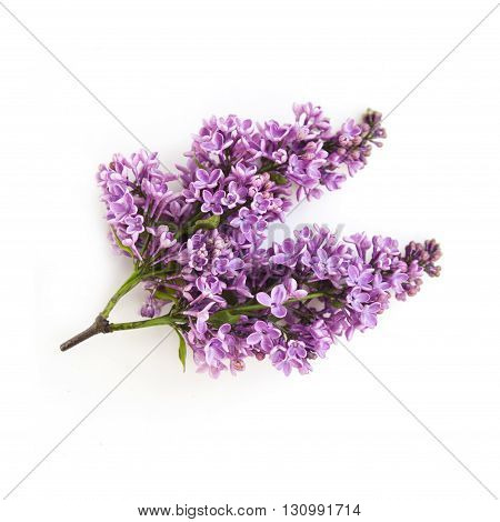 lilac spring purple flowers twig on white