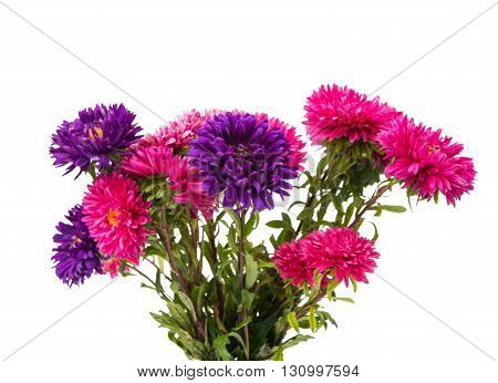 flower, china  aster isolated on white background