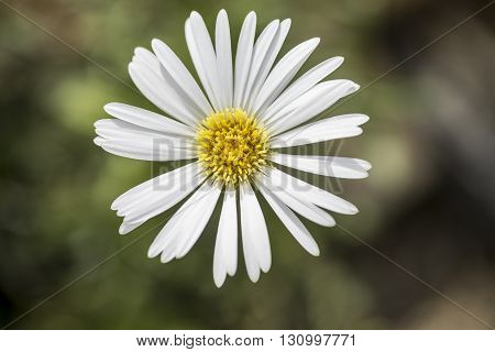 Celmisia Hookeri - white daisy like flower with yellow centre against soft background of blurred foliage