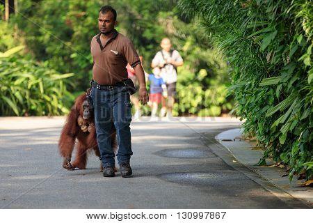 Singapore, Republic of Singapore - 6 May, 2016: Caretaker escorts a family of orangutans