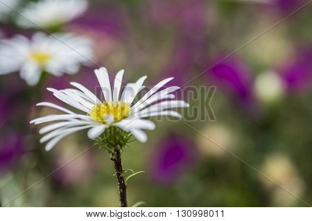 Celmisia Hookeri flower daisy like white flower with yellow centre. Shallow depth of field with soft blurred background of purple flowers
