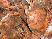image of crustations  - cooked femal softcrabs with seasoning - JPG