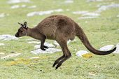 Постер, плакат: Kangaroo Portrait While Jumping On Grass