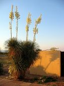 image of xeriscape  - blooming yuccas at sunset - JPG