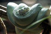 pic of green tree python  - A green tree python - JPG