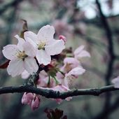 Постер, плакат: Blossoming Sakura Flowers In Spring Aged Photo