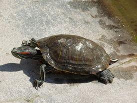 stock photo of the hare tortoise  - reptile  - JPG