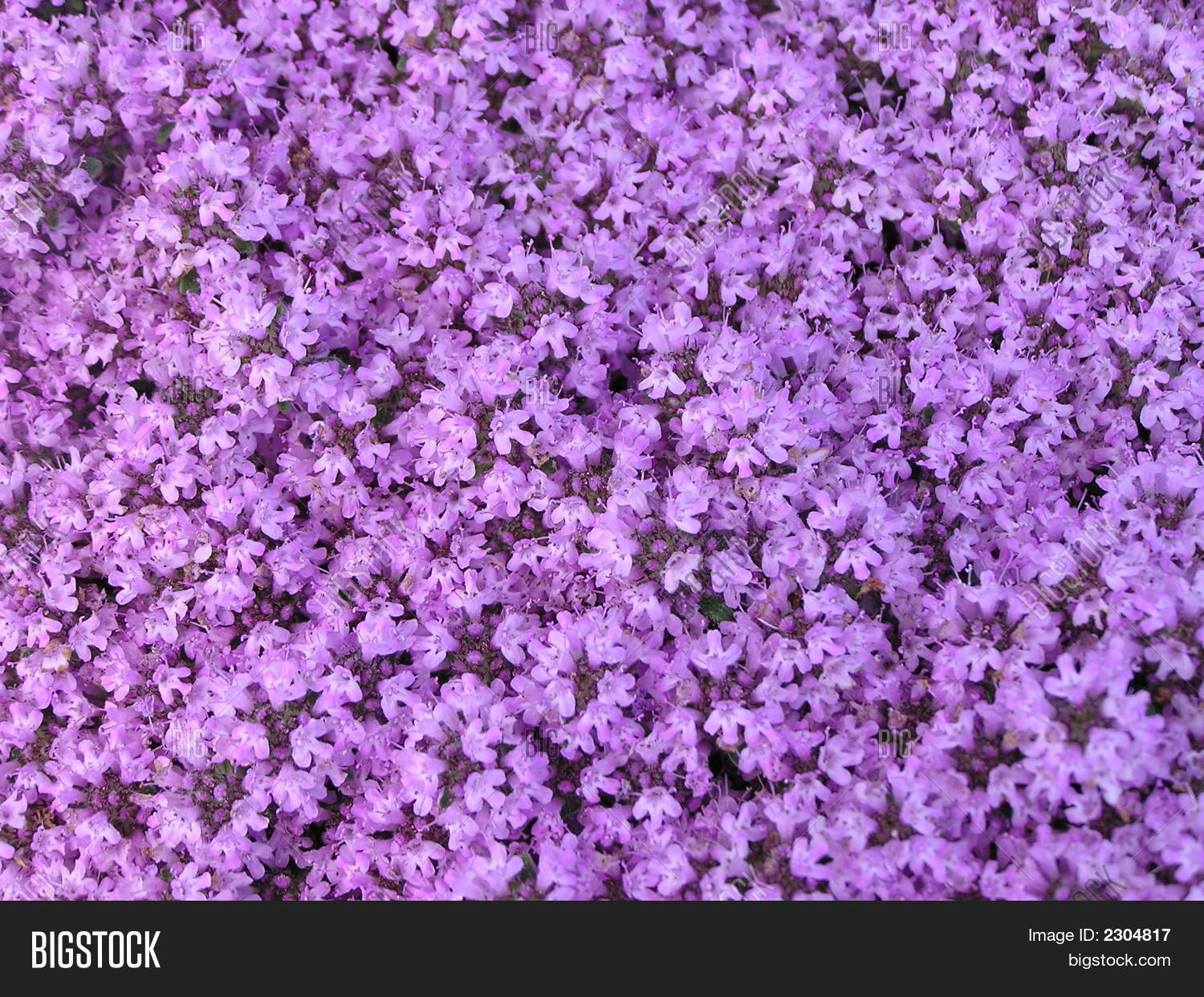 carpet of flowers mtg. purple carpet of flowers stock photo images bigstock mtg