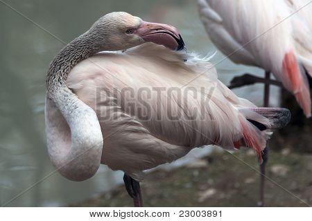 Flamingo Particular