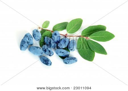 Berries Of A Honeysuckle With Leaves
