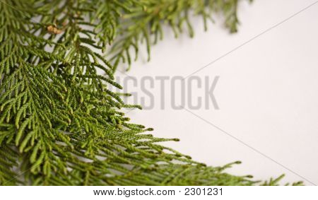 Evergreen Border On White