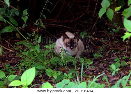 Stray Siamese Cat