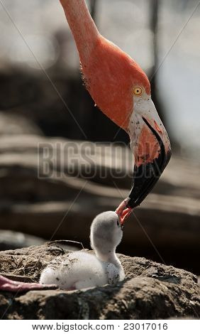 Baby Bird Of The Caribbean Flamingo.