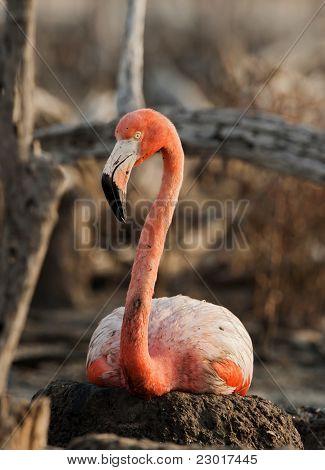 Portrait Of The American Flamingo.