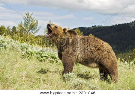 Grizzly Bear gruñendo