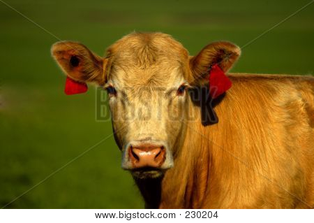 Animal Cow Golden