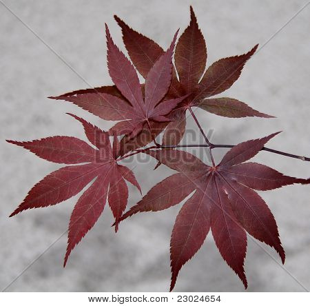 Bloodgood Japanese Maple Leaves Stock Photo Stock Images