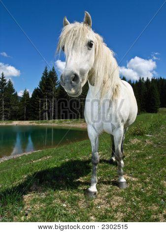 Alert White Pony