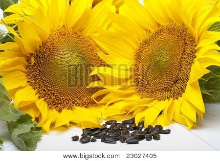Yellow Colored Flowers Of Sunflower Seeds And Black