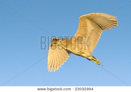 Black-Crowned Night-Heron immature in flight / Nycticorrax nycticorax