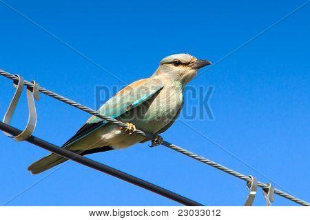 Eurasian Roller immature / Coracias garrulus