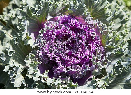 Decorative Cabbage