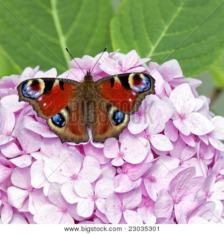 Red Butterfly On Pink Hydrangea
