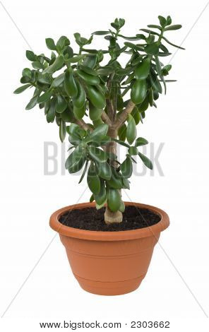 Dollar Plant (Crassula Ovata) Known Also As Jade Or Money Tree