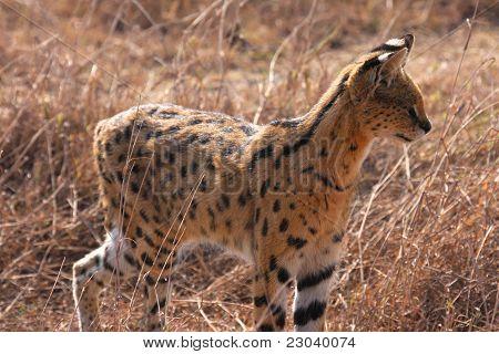 Serval hunting
