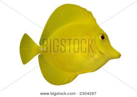 Tropical Fish Zebrasoma Flavescens Isolated On White