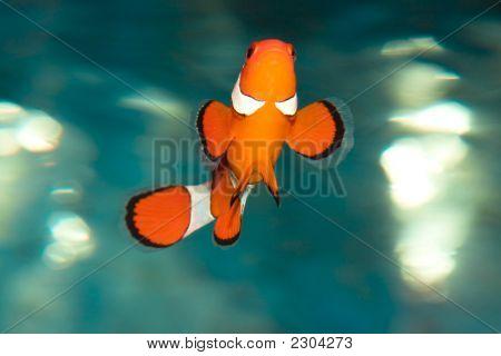 Tropical Fish Amphiprion Ocellaris (Clownfish)