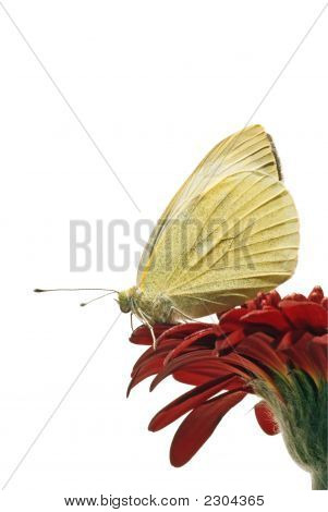 Small White Butterfly Profile