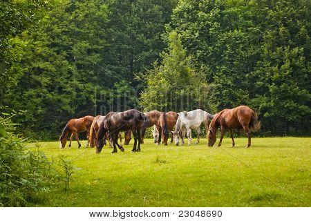 Herde von Pferden zu essen, in Waldlichtung