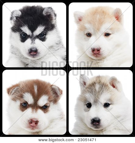 set of little puppy portraits Siberian husky dogs of one month isolated on white background