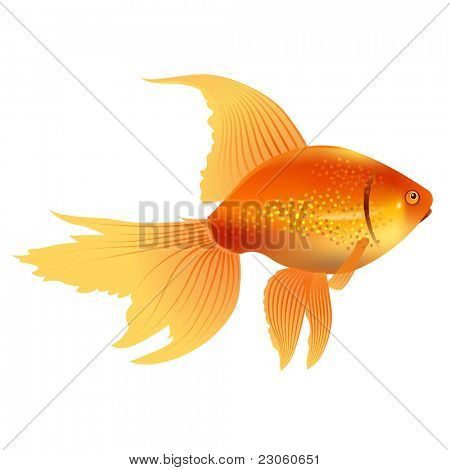 Vector realistic gold fish