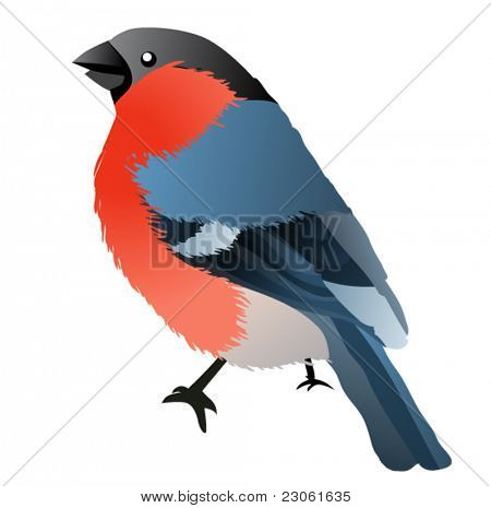 Bullfinch isolated on white background