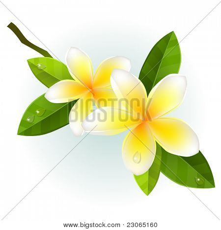 Frangiapani flowers isolated on white background