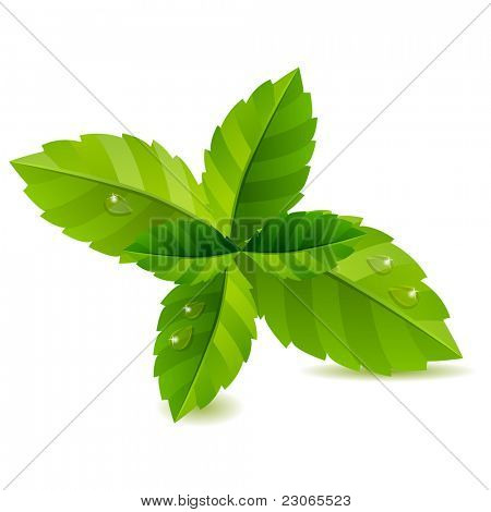 Fresh green mint leaves isolated on white background