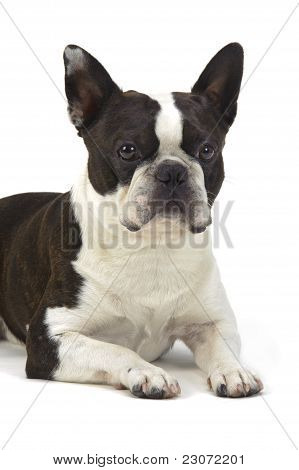 dog bostton terrier