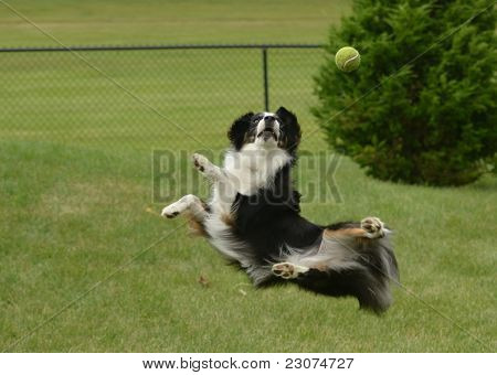 Australian Shepherd (aussie) Dog Catching A Ball