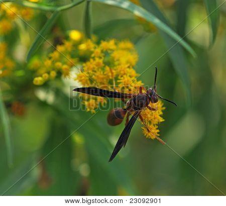September Wasp