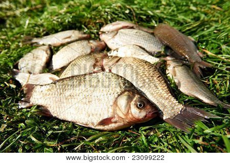 fresh river fish cach lying on green grass